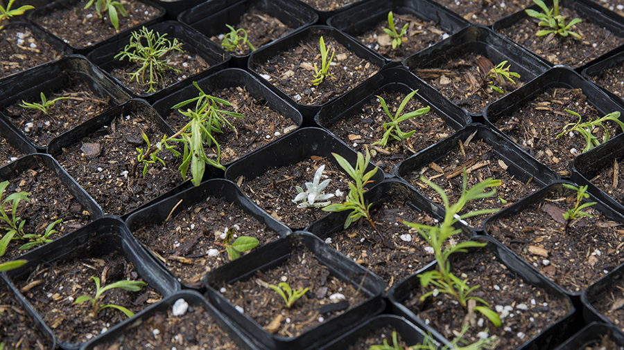 Buckwheat Seedlings